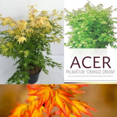 Acer palmatum 'Orange Dream'