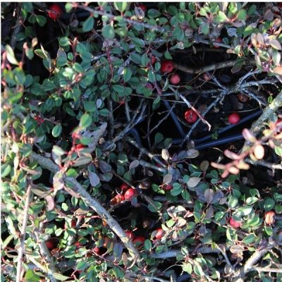 Cotoneaster Proc. 'Steib's Findling'