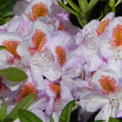 Rhododendron 'Mrs. TH Lowinsky'