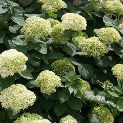 Hydrangea arborescens 'Lime Rickey'® PW