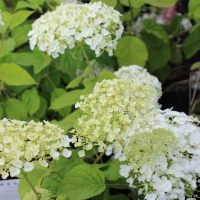Hydrangea arborescens 'Strong Annabelle'® PW