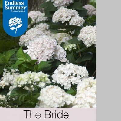 Hydrangea macrophylla 'Endless Summer  THE BRIDE'®