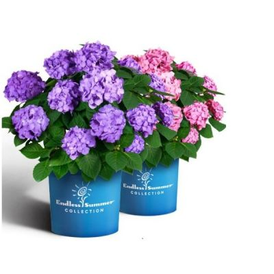 Hydrangea macrophylla 'Endless Summer Bloomstar Blue'®