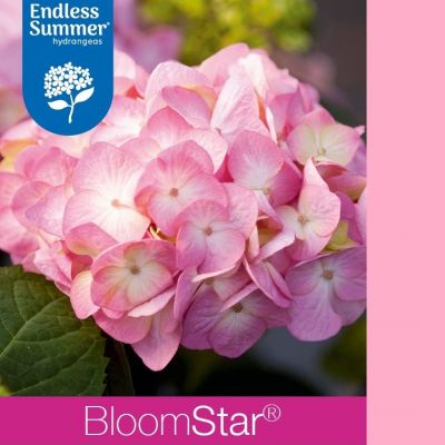 Hydrangea macrophylla 'Endless Summer Bloomstar Pink'®