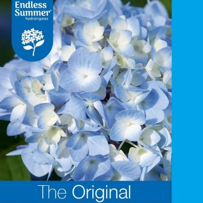 Hydrangea macrophylla 'Endless Summer The Original Blue'®