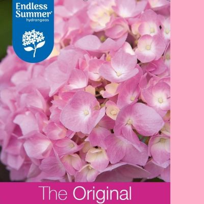 Hydrangea macrophylla 'Endless Summer The Original Pink'®