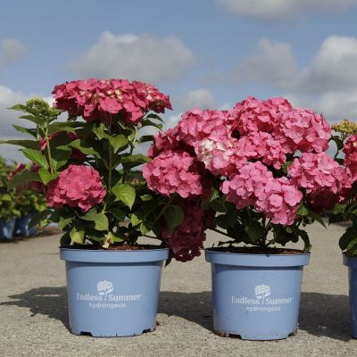 Hydrangea macrophylla 'Endless Summer® Summer Love'