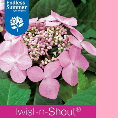 Hydrangea macrophylla 'Endless Summer® TWIST & SHOUT'