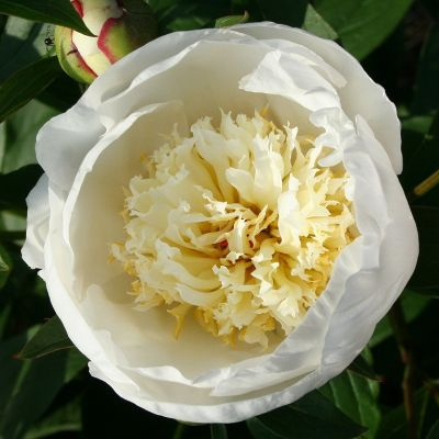Paeonia 'Immaculee'