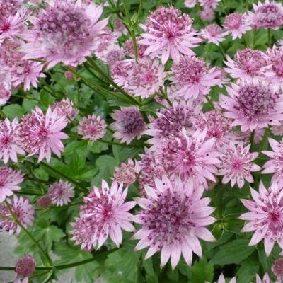 Astrantia major 'Roma'®
