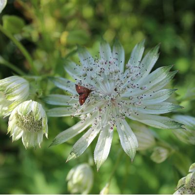 Astrantia major 'Snow Star'®