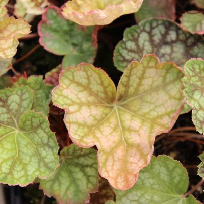 Heuchera 'Beauty Colour'®