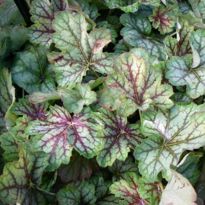 Heuchera 'Green Spice'®