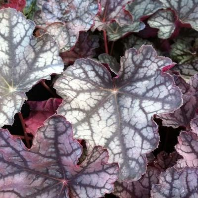 Heuchera 'Pewter Moon'