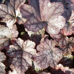 Heucherella 'Quicksilver'®