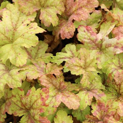 Heucherella 'Alabama Sunrise'®