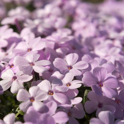 Phlox (D) 'Crackerjack'