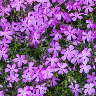 Phlox (D) 'Lilac Cloud'