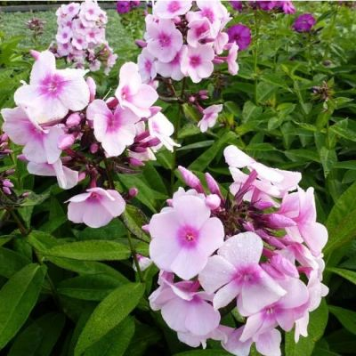 Phlox (P) 'Bright Eyes'