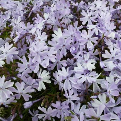 Phlox (S) 'Emerald Cushion Blue'