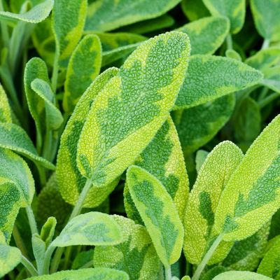 Salvia officinalis 'Icterina' (= 'Aurea')