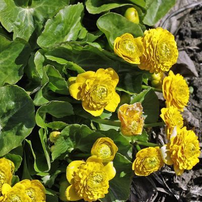 Caltha palustris 'Multiplex'